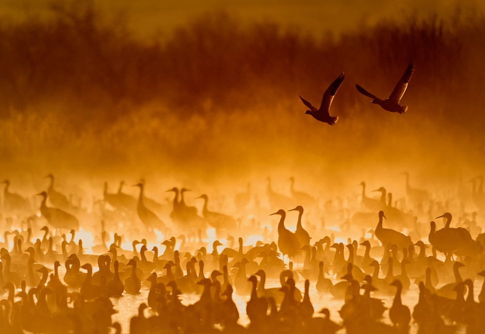 Cranes In The Fire Mist Photo by Scott Bourne